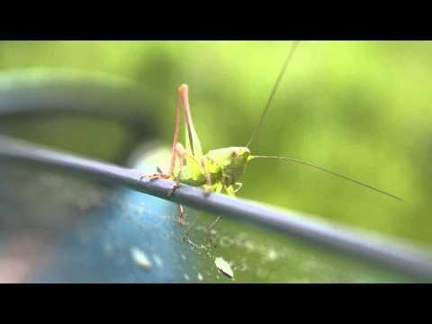 Видео о природе : Кузнечик видео