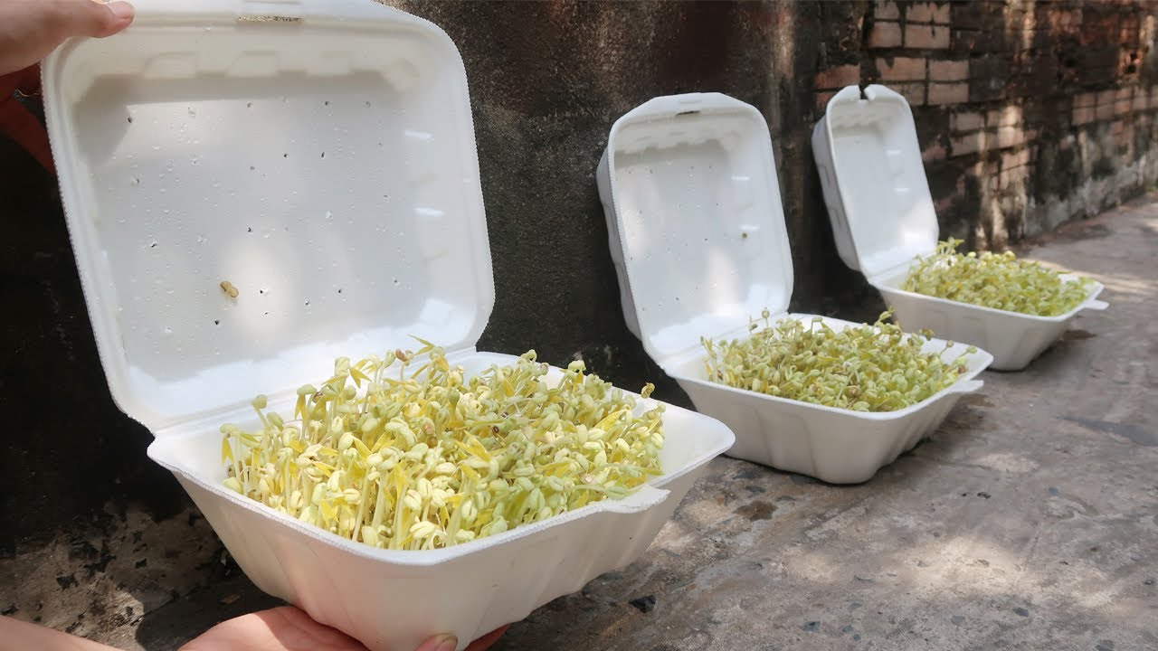 Easy idea   How to grow bean sprouts in Styrofoam Box at home for beginners