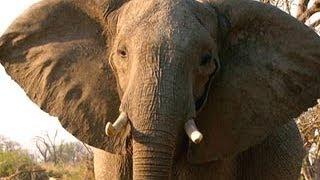 Ученые научились отпугивать слонов тигриным рыком(Ученые научились отпугивать слонов тигриным рыком - Новости. Утро - Интер - 25.09.2013 Scientists have learned how to deter elephants..., 2013-09-25T08:26:23.000Z)