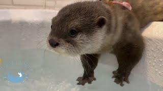 カワウソの赤ちゃんと遊びたくて、おしり丸出しのおばカワウソ Baby otter and her auntie who shakes her butt