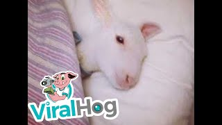Prince The Lamb Tucked Into Bed    ViralHog
