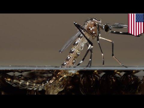 Millions of genetically modified mosquitoes could be released in Florida