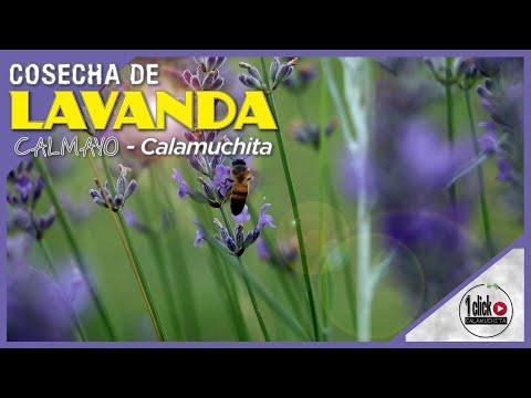 COSECHA De LAVANDA En CALMAYO - Calamuchita