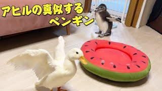アヒルの真似をしようとして恥をかいたペンギンの赤ちゃん