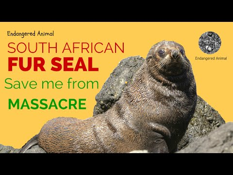 Endangered Animal Fur Seal: Science and Education Endangered Animal South African Fur Seal