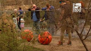 Majority of Meerkat Mob Picks Texas Tech - Cincinnati Zoo