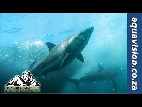 Dolphins And Whale On Sardine Bait Ball  | HD STOCK FOOTAGE