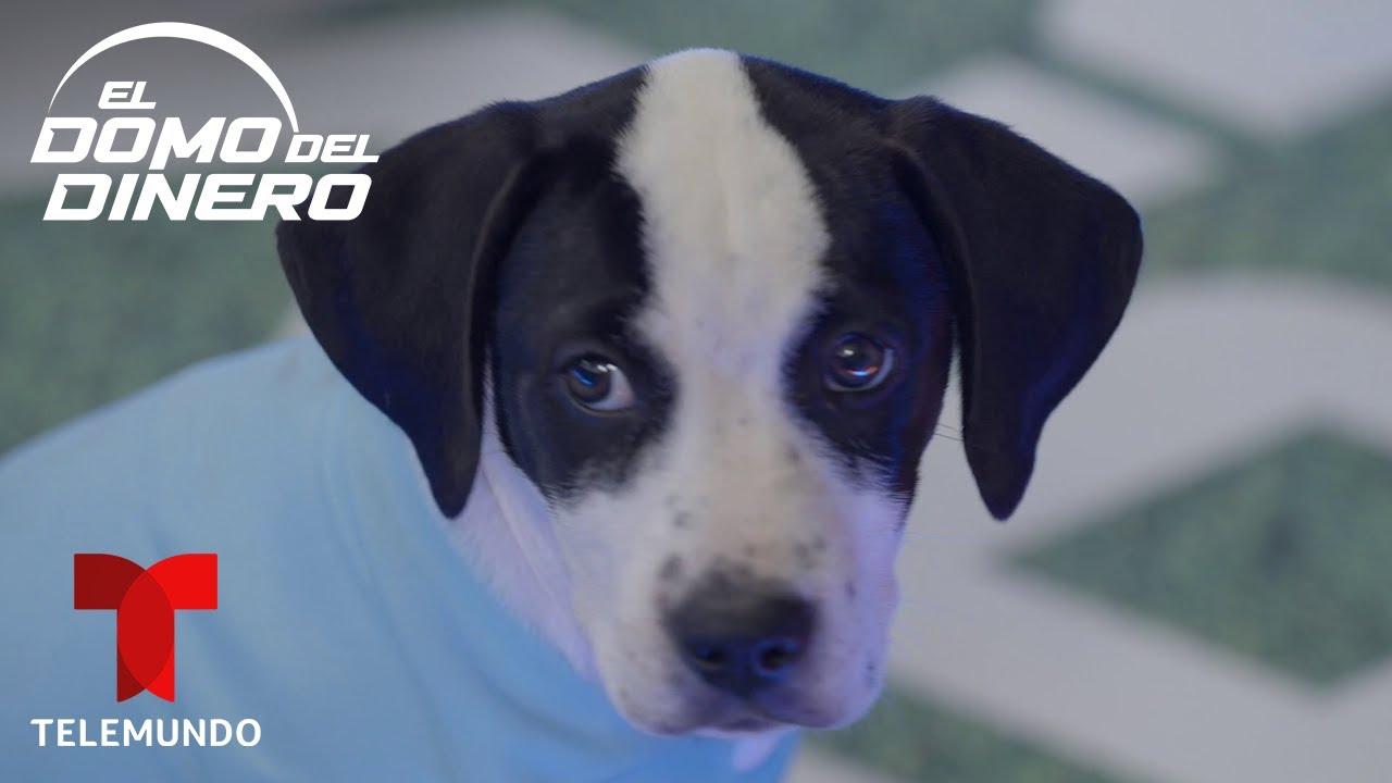 El Domo Puppies Ep. 06: Benji y Rudy se enfrentan en la gran final   El Domo del Dinero   Telemundo