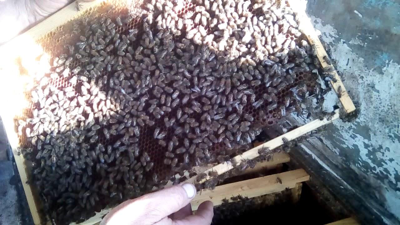Пчелосемья готова к зимовке. И немного о варроатозе