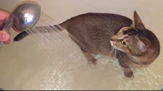 Наша кошка любит воду. Порода - помесь абиссинки с бенгалкой