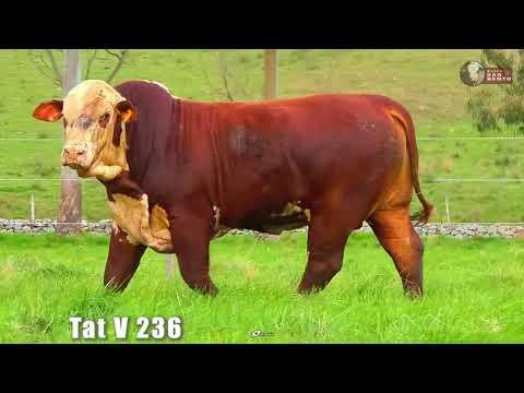LOTE 22   TAT V236 BRAFORD SÃO BENTO 2 ANOS
