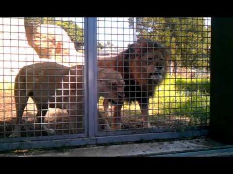 Santa Barbara Zoo Lions