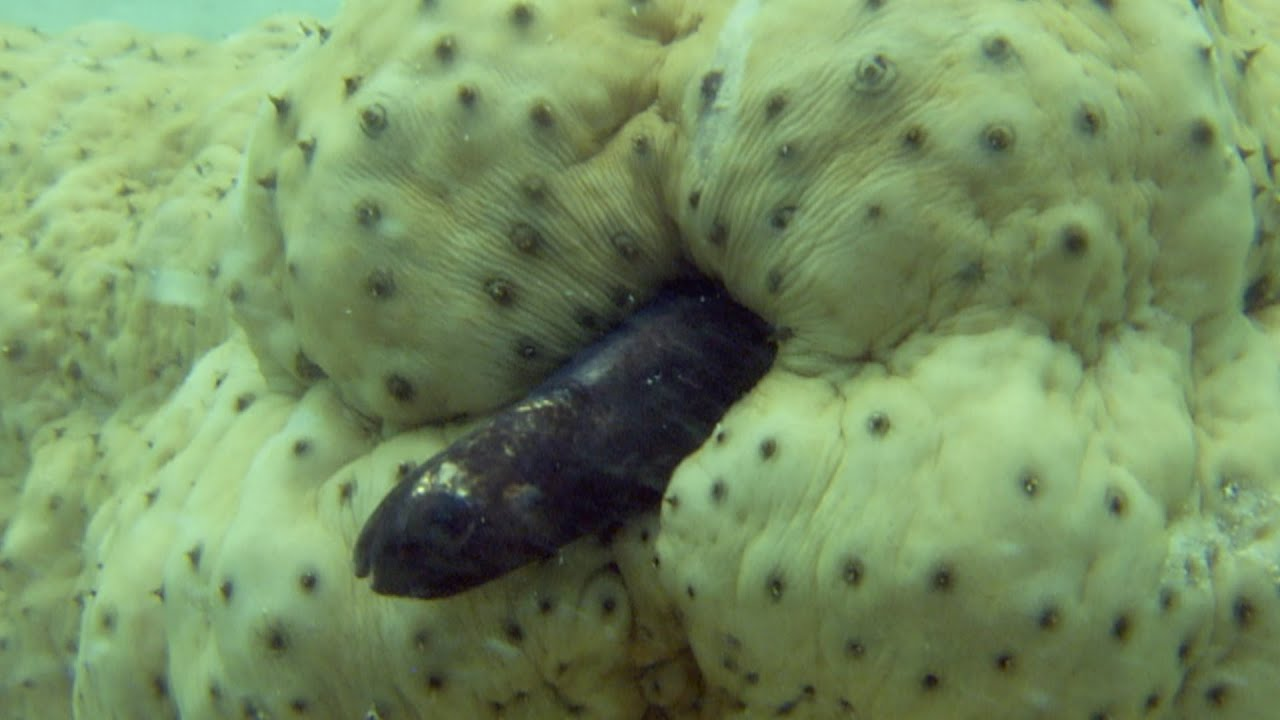3d Wallpaper Live Fish Pearlfish Hides Inside A Sea Cucumber Natural World 2016