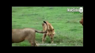Animal fights Animal attacks. 野生動物の世界チャンネル □チャンネル...