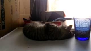 子猫が寝落ちする瞬間録画映像