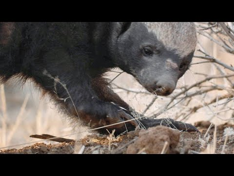 A Honey Badger Barrels Through A Sharp Thorn Tree For Lunch