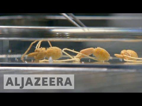 Salmon Eating Sea-lice Effect Scotland's Fish Exports