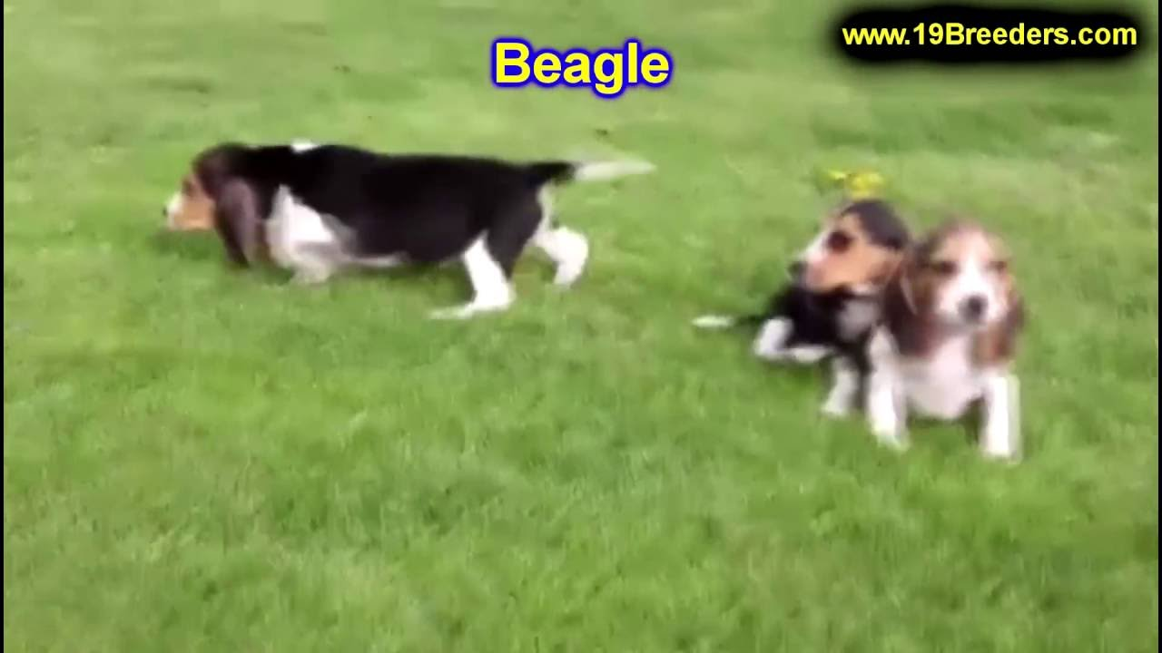 Beagle, Puppies, Dogs, For Sale, In Newark, New Jersey, NJ ...