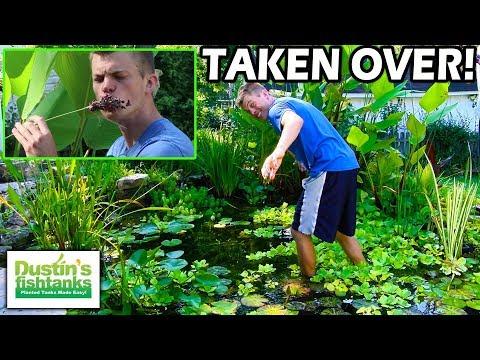 Garden Pond Update: OVER GROWN POND PLANTS!