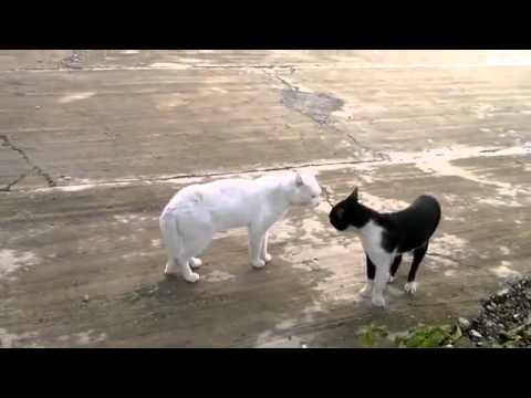 Thumbnail for Cat Video Cat Stands Up During Fight