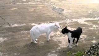 Cobra Cat - FULL LENGTH - Funny Cat Fight