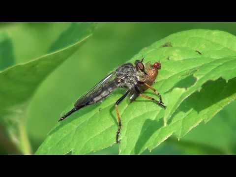 Robber Fly (Asilidae: Promachus) Feeding on Marsh Fly