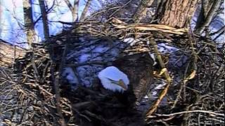 Decorah eagles,Wow Mom&Dad are busy today,comings & goings,Cornstalk,sticks,12/18/13