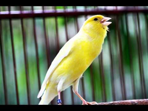 Download Lagu Suara Ocehan Burung KENARI Untuk Masteran KENARI GACOR Durasi Panjang