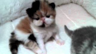 Exotic shorthaired Kittens From Ziakatz 2011 001