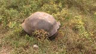 Galapagos Islands Male Tortoises Fighting
