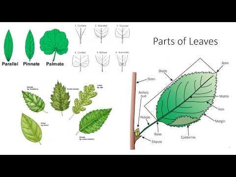Plant Anatomy And Morphology