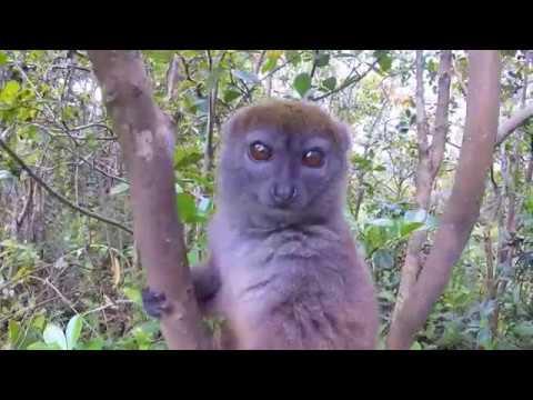 """Thème Lémuriens """"Hapalemur griseus ou Bamboo Lemur"""""""