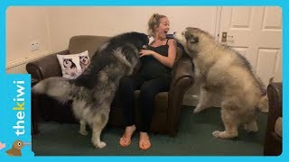 This dog protects his pregnant mom?
