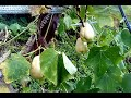 How to grow chayote plant vine for a good diet