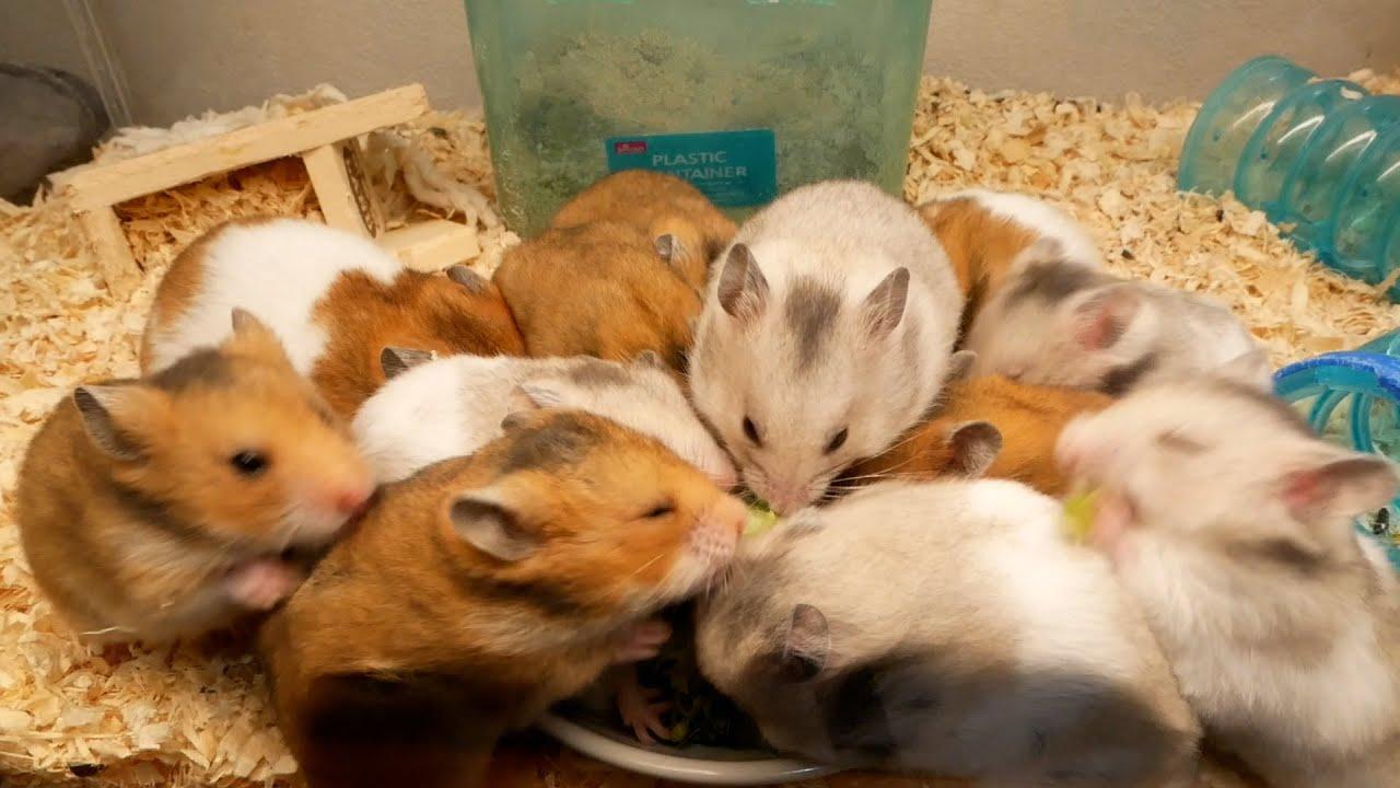 このハムスター達は集団で何を食べようとしていますか?