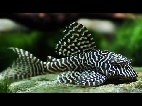 Top 33 Pleco Fish| Pleco Invasion|Pleco Fish Care| Bristlenose Pleco| Pleco Cleans Turtle|Rare Pleco