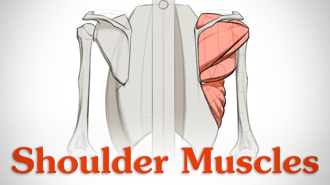 How To Draw Shoulder Muscles Anatomy And Motion Youtube