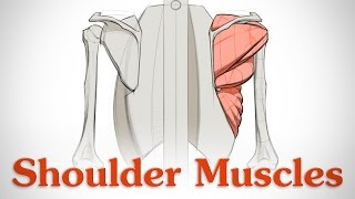How to Draw Shoulder Muscles - Anatomy and Motion