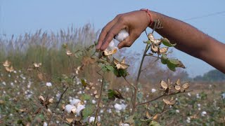HD Stock video of a farmer pulling off cotton from the bush