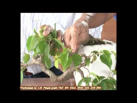 Vietbonsai.vn: Tạo hình nghệ thuật cho cây cảnh - P5