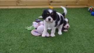 Cavalier X Lhasa Apso Pups