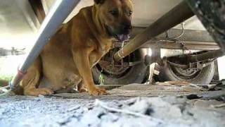 Rescuing a stray pregnant dog + Rehabilitation by Marilyn. (video by Eldad Hagar)
