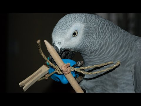 African Greys Who Don't Play | What to Do?!