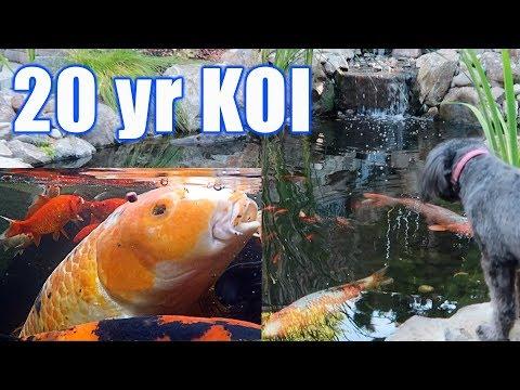 20-Year Koi In Epic Garden Pond
