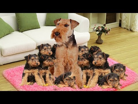 Mother Welsh Terriers dog giving birth to many cute puppies