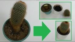 Kaktus retten & Kateen vermehren – Anleitung  / Kaktus fault von unten – Was tun bei Kakteenfäule