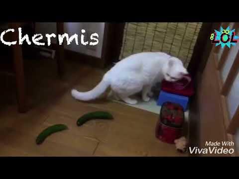 Top Cats Vs. Cucumbers 🔴 Funny Cat Videos Compilation - Gatos Vs. Pepinos !!!!