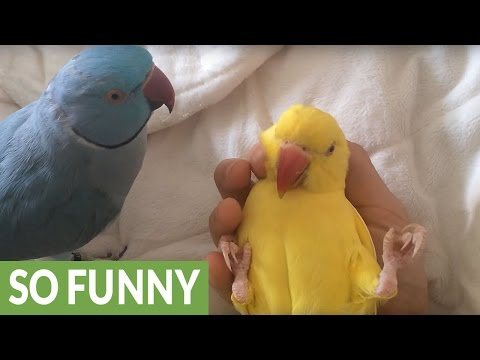 Parrot jealous of companion's attention