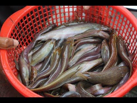দেশি শিং মাছ চাষ / Stinging Catfish Farm In Bangladesh