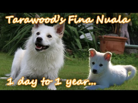 Watching a puppy grow (Icelandic sheepdog Nuala from 1 day to 1 year) - Amira's Blog